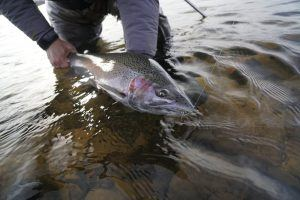 Great Lakes Steelhead
